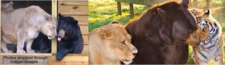 lion-tiger-bear_1538513i