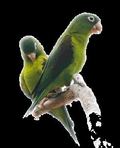 orange-chinned parakeet flickr sussexbirder