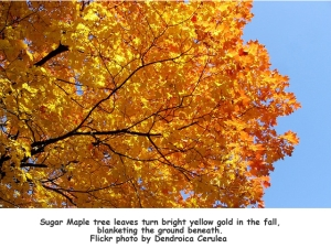 Sugar Maple Tree flickr by dendroica  cerulea