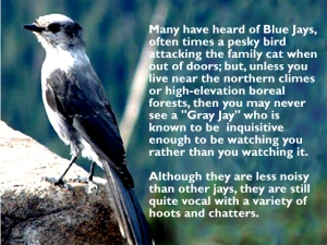 """The deceptively cute Gray Jay is one of the most intrepid birds in North America, living in northern forests year-round and rearing chicks in the dark of winter.""  www.allaboutbirds.org"