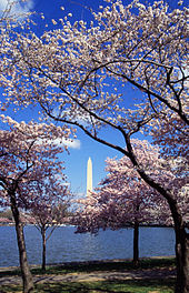 Cherry Blossoms in full bloom in Washington, DC