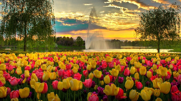 Tulips in bloom - Creative Commons image by Sandeep Pawar