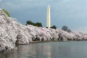 Washington Monument during cherry blossom time, Wiki News image