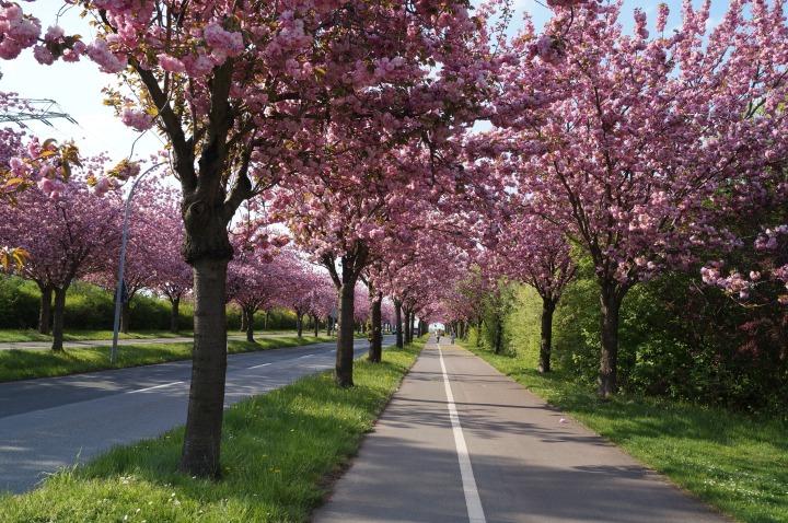 cherry_blossom_cherry_tree